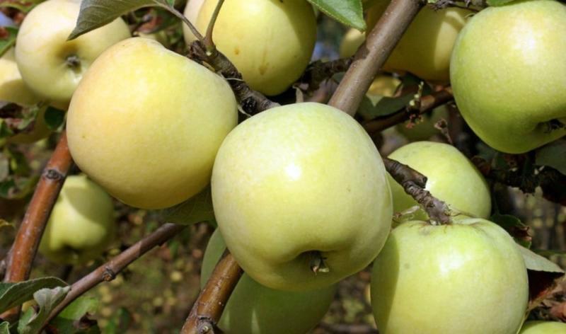 Сорт яблок Антоновка для аджики