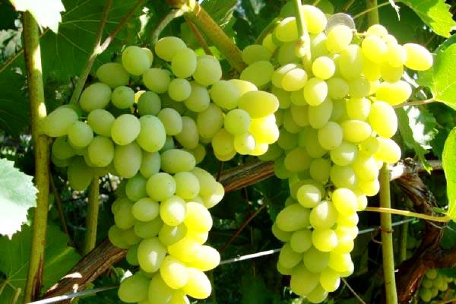 Рецепт компота из винограда на зиму
