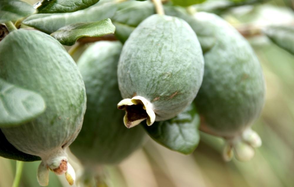 Вкусный компот из фейхоа на зиму
