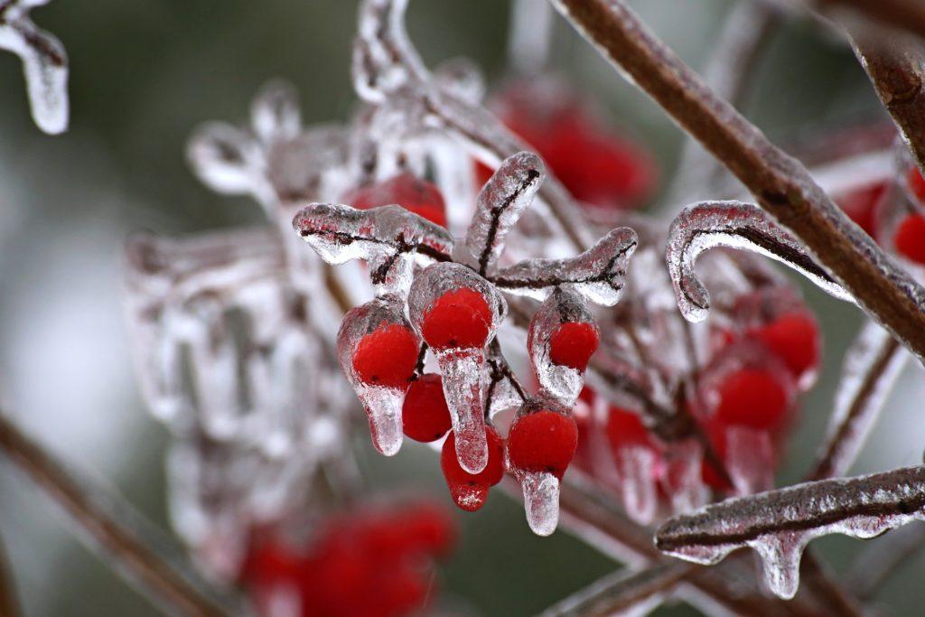 Замороженный боярышник
